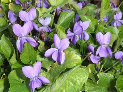 viola odorata 01 مهمترین خواص درمانی گیاه بنفشه