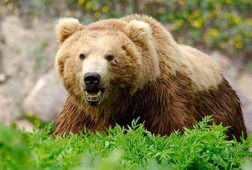 898 635287413847866505 s درباره خرس های ایرانی